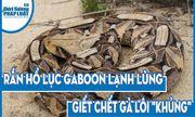 Video: Rắn hổ lục gaboon lạnh lùng giết chết gà lôi