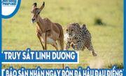Video: Truy sát linh dương, báo săn nhận ngay đòn đá hậu đau điếng, ngậm ngùi bỏ cuộc