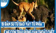 Video: Bị đàn sư tử bao vây tứ phía, mẹ con trâu rừng vẫn thoát chết một cách thần kỳ