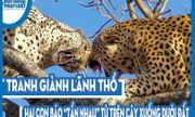 """Video: Tranh giành lãnh thổ, hai con báo """"tẩn nhau"""" từ trên cây xuống tận dưới đất"""
