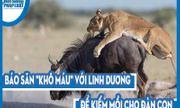 Video: Báo săn
