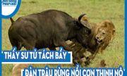 Video: Thấy sư tử tách bầy, đàn trâu rừng nổi cơn thịnh nộ, giày xéo chúa tể đồng cỏ đến chết