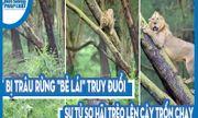 Video: Bị trâu rừng