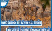 Video: Đang săn mồi thì xảy ra mâu thuẫn, đàn sư tử để trâu rừng xổng ngay trước mắt