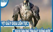 Video: Vịt giãy giụa liên tục khi bị chim ưng