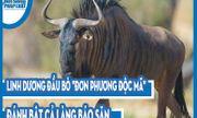 Video: Linh dương đầu bò
