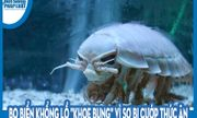 Video: Bọ biển khổng lồ
