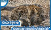 Video: Nổi cơn thịnh nộ, báo hoa mai giết chết khỉ đầu chó rồi kéo lê xác