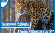Video: Tranh cướp mồi với đồng loại, báo đốm bị treo ngược cành cây