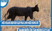 Video: Mèo hoang đen đủi gặp phải linh miêu hung dữ, đánh đuổi lên tận ngọn cây cao