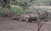 Video: Báo đốm \