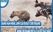 Video: Đang nằm nghỉ, linh cẩu bị bầy chó hoang hung dữ đánh úp và cái kết bất ngờ
