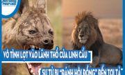 """Video: Vô tình lọt vào lãnh thổ của linh cẩu, sư tử bị """"đánh hội đồng"""" đến tơi tả"""