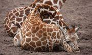 Bạn có biết hươu cao cổ khổ sở như thế nào khi ngủ không?