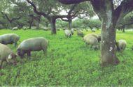 Ăn - Chơi - Thịt heo Iberico Tây Ban Nha: Một trong 4 mơ ước của những người mê ẩm thực thế giới đã có tại Hà Nội