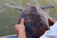 Đời sống - Ngư dân Nghệ An từ chối 250 triệu đồng, quyết thả đồi mồi dứa quý hiếm về biển