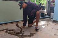 Video-Hot - Video: Liều mạng khi tay không thuần phục rắn hổ mang hung hữ
