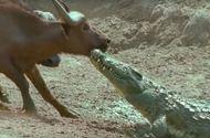 Video-Hot - Video: Lao lên bờ cắn trâu rừng, cá sấu nhận cái kết đau đớn