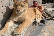 Video-Hot - Video: Sư tử lai hổ nặng hơn 3 tạ thảnh thơi đi dạo cùng 2 người đàn ông