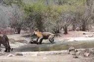 Video-Hot - Cuộc chiến sinh tồn: Hổ mẹ dìm con xuống nước để tránh kẻ thù