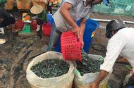 Kinh doanh - Trúng lớn, dân miền Tây chộn rộn thu hoạch tôm