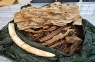 Pháp luật - Bắt vụ vận chuyển hơn 20 kg trầm hương và ngà voi từ Thái Lan về Việt Nam