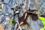 Đời sống - Thót tim khi treo mình trên vách núi cao hàng trăm mét lấy mật ong