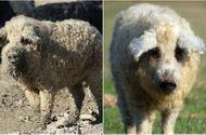 Cộng đồng mạng - Chuyện lạ: Giống lợn đặc biệt có lông xù hệt cừu nhưng tính cách giống loài chó