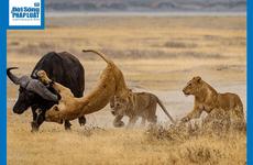 Video: Vừa hạ hục được trâu rừng, 3 sư tử phải cuống cuồng bỏ chạy vì điều này