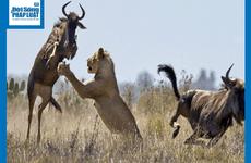 Video: Mải mê đánh nhau, 2 con linh dương bị sư tử phục kích rồi xơi tái