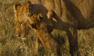 Video-Hot - Sư tử bố ngủ quên khiến con suýt mất mạng dưới răng nanh của bầy chó hoang
