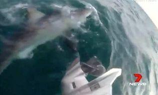 Video-Hot - Video: Cá mập trắng dài 4m lao lên cắn động cơ thuyền, ngư dân hốt hoảng