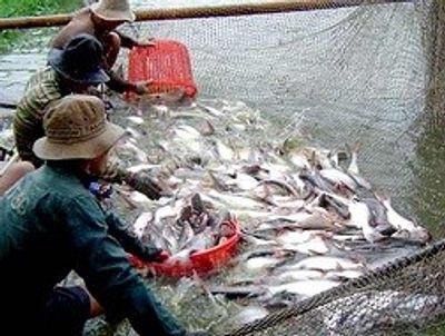 """Thiếu liên kết, doanh nghiệp và nông dân nuôi cá tra đều """"bẻ kèo"""" - ảnh 1"""