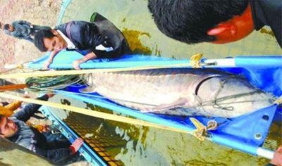 TQ: Bắt được cá tầm khổng lồ dài 3,3 mét trên sông  - ảnh 1