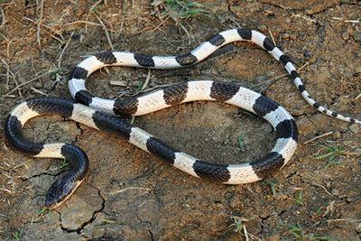 Thực hư tin đồn rắn thích mùi sữa mẹ  - ảnh 1