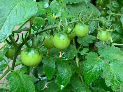 Cận cảnh khu vườn đầy hoa trái của vợ chồng Phương Thảo - Ngọc Lễ ở Mỹ - ảnh 1