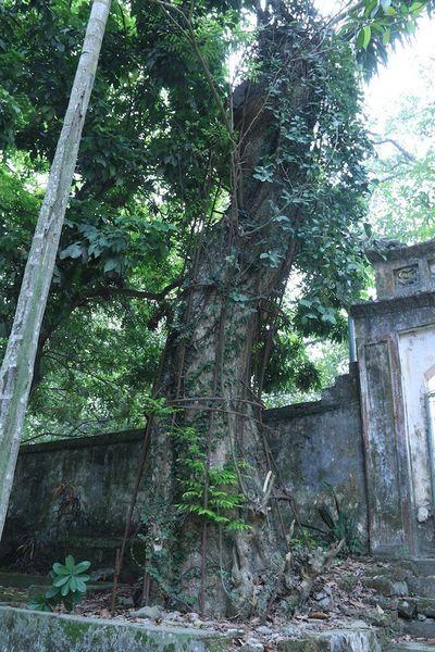 Vụ cây sưa trăm tỷ ở Hà Nội: Một nhánh cây được bán đấu giá 31 tỷ đồng - ảnh 1