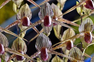 Loài hoa lan kì lạ 15 năm mới nở một lần, đại gia muốn mua cũng khó - ảnh 1