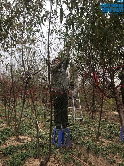 Người trồng đào Nhật Tân đang tất bật tuốt lá đón Tết  - ảnh 1