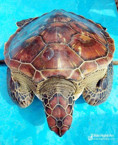 Cận cảnh rùa biển quý hiếm nặng 8kg sa lưới ngư dân - ảnh 1