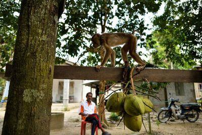 Hi hữu: Đang ngồi trước cửa nhà, cụ bà 72 tuổi tử vong vì bị khỉ ném dừa vào đầu - ảnh 1