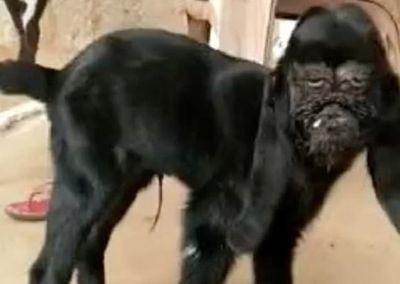 Tin tức đời sống mới nhất ngày 28/1/2020: Con dê mang khuôn mặt người đau khổ ở Ấn Độ - ảnh 1
