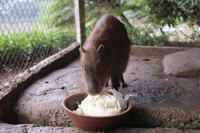 """Xuất hiện chuột """"khổng lồ"""