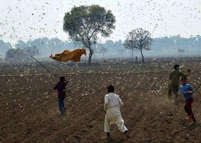 Choáng váng trước sức tàn phá của hàng trăm triệu con châu chấu đang tràn vào châu Á - ảnh 1