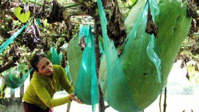 Kỳ lạ giống Bí đao khổng lồ độc nhất vô nhị tại Việt Nam - ảnh 1