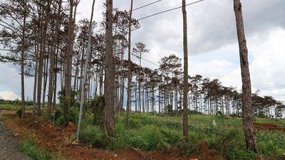 Khởi tố cán bộ ngân hàng thuê người đầu độc rừng thông để chiếm đất - ảnh 1