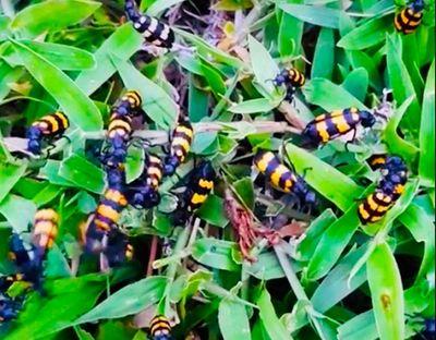 Vì sao thương lái Trung Quốc đặt mua bọ sọc giá 1-2 triệu/kg? - ảnh 1