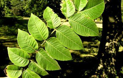 Nắm lá hay giúp giảm ngay bệnh Đại tràng ai ai cũng khen  - ảnh 1