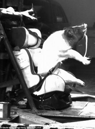 Thí nghiệm dùng lợn sống làm hình nộm thử tai nạn xe hơi tại Trung Quốc bị lên án - ảnh 1