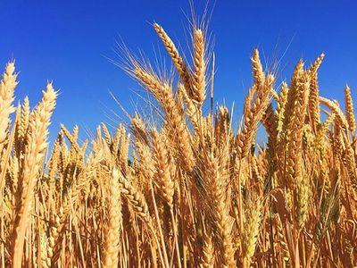 Australia không đối đầu thương mại với Trung Quốc sau quyết định áp thuế 80,5% với ngành lúa mạch - ảnh 1